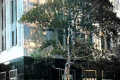 A Tree Grows on Wilshire